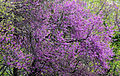 Cercis siliquastrum - Judas Tree 04.JPG