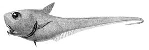 Cetonurus krasiceps2.jpg