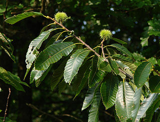 Chestnut genus of plants