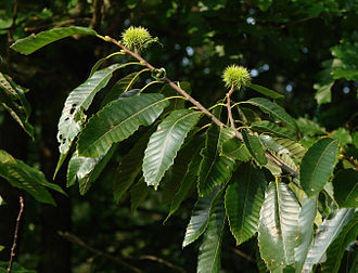Chestnut - Sweet chestnut Castanea sativa