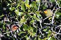 Chêne kermes - Quercus coccifera (3).jpg