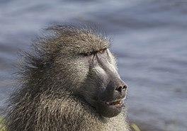 Chacma baboon (Papio ursinus griseipes) male head.jpg