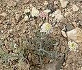 Chaenactis douglasii var douglasii 1.jpg