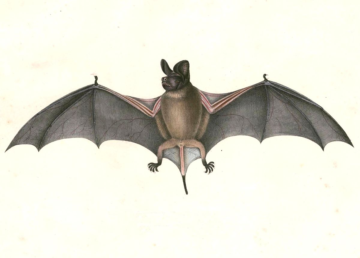 wrinkle lipped free tailed bat wikipedia