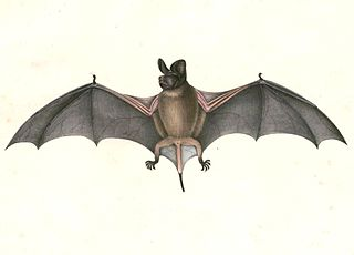 Wrinkle-lipped free-tailed bat species of mammal