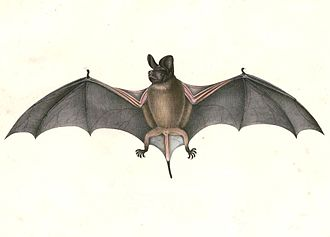 Wrinkle-lipped free-tailed bat - Image: Chaerephon plicatus Hardwicke