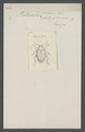 Chaetocnema - Print - Iconographia Zoologica - Special Collections University of Amsterdam - UBAINV0274 036 08 0035.tif