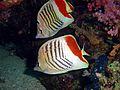 Chaetodon paucifasciatus, Ras Mohamed.jpg