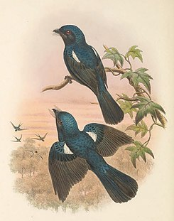 Chaetorhynchus papuensis - The Birds of New Guinea (cropped).jpg