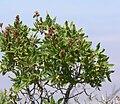 Chamaebatiaria millefolium 5.jpg