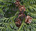 Chamaecyparis lawsoniana (Lawson Cypress) - Flickr - S. Rae.jpg
