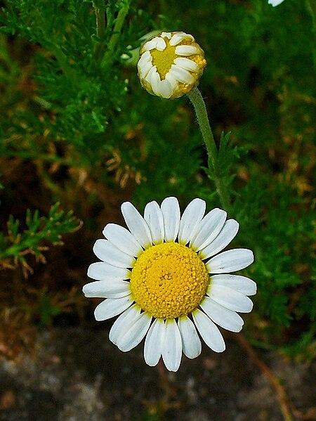 File:Chamaemelum nobile 002.JPG