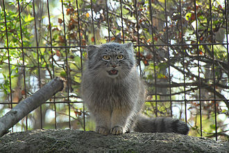 Ménagerie du Jardin des plantes - Pallas's cat at the zoo