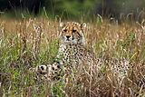 Cheetah (Acinonyx jubatus) cub.jpg
