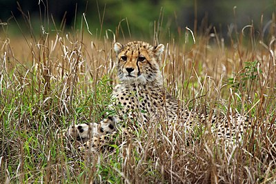 Wikipedia Featured Picture Candidates Cheetah Cub Wikipedia