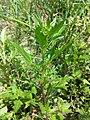 Chenopodium rubrum (s. str.) sl41.jpg