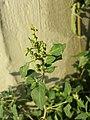 Chenopodium vulvaria sl29.jpg