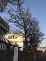 Cherry blossoms near Kyushu Sangyo University 20190405-2.jpg