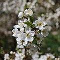 Cherry tree blossom 2020 G1.jpg