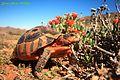 Chersina angulata in Namakwaland (10761973714).jpg