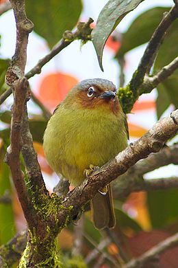 Chestnut-faced babbler.jpg