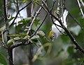 Chestnut-sided Warbler (30372511918).jpg