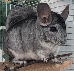 Chinchilla-Patchouli.jpg