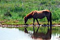 Chincoteague Horse.jpg