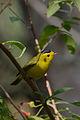 Chipe Corona Negra, Wilson's Warbler, Wilsonia pusilla (16854474220).jpg