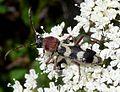 Chlorophorus trifasciatus. Cerambycidae - Flickr - gailhampshire.jpg