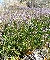 Chorispora tenella 4.jpg