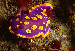 Description de l'image Chromodoris luteorosea (Rapp, 1827) .jpg.