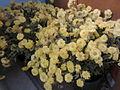 Chrysanthemum × morifolium 1.jpg