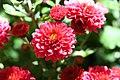 Chrysanthemum Elegant Marjorie 0zz.jpg