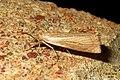 Chrysoteuchia culmella (FG) (15262765410).jpg