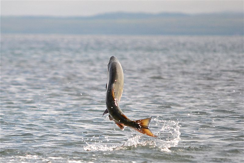 Chum salmon leaping photo by Photo: K. Mueller, USFWS. Uploaded to Wikimedia commons under CC-BY-2.0