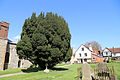 Church of St Mary, High Easter, Essex, England - graveyard yew tree at south-east.jpg