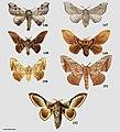 Cicinninae (10.3897-zookeys.815.27335) Figures 146–152.jpg