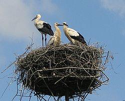 Három fehér gólya egy ember építette póznára rakott fészekben