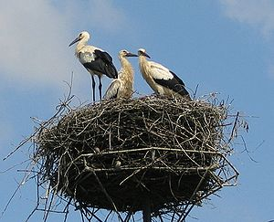 Three long-legged, long-billed black and white birds stand on a huge pile of sticks atop an artificial platform on a pole.
