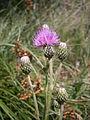 Cirsium heterophyllum 003.JPG