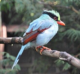 Magpie - Image: Cissa hypoleucor concolor qtl 1