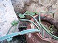 Cissus quadrangularis-salem Wiki DEC2011-Tamil Nadu598.JPG