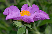 Cistus_incanus_-_flower_side_(aka).jpg