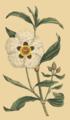 Cistus ladaniferus.png