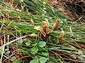 Clavariadelphus pistillaris 87803913.jpg