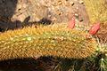 Cleistocactus winteri pm1.jpg