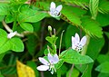 Cleome Wild Flower - panoramio.jpg