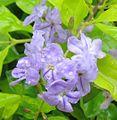 Close Up - Flowers Golden Duranta Bush.jpg