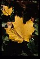 Close Up of Fall Leaf (Missouri State Archives) (8203211829).jpg